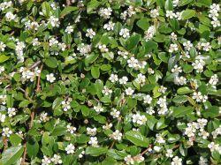 Zwergmispel / Kriechspindel 'Streibs Findling' [Klassischer Bodendecker] > immergrün, robust, pflegeleicht, weiße Blüten, hellroter Fruchtschmuck im Herbst