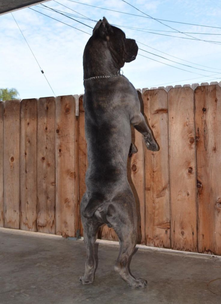 Cane Corso at the Look-out