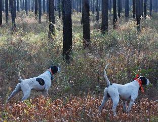 Florida quail hunting, Florida bird dog hunting in Chipley Florida at Hard Labor Creek