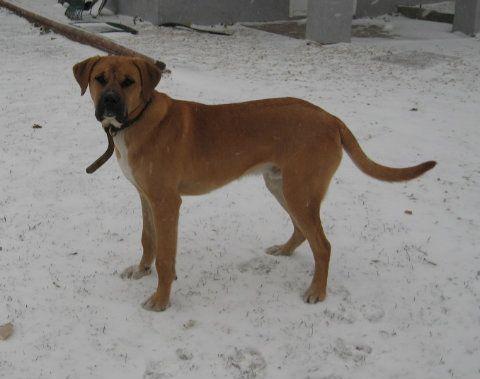 Boxer Labrador   Dogs Breeds and Cat Breeds I Like ...