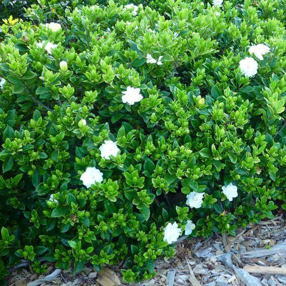 Gardenia augusta 'Florida' to base of Ficus in rear garden