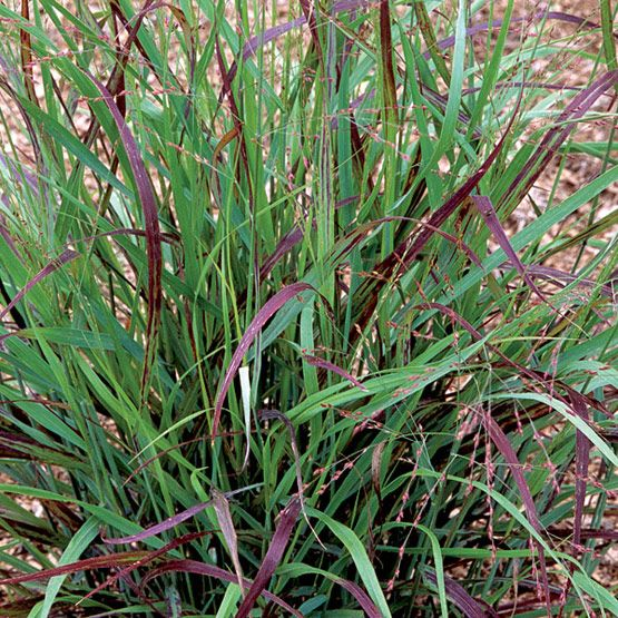 39 shenandoah 39 red switchgrass latin name panicum virgatum for Common ornamental grasses