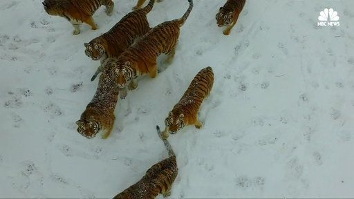 Watch Watch These Tigers Snatch a Drone Out of the Air for Exercise from NBC News Specials. A tiger enclosure in China has come up with a new way to keep their tigers fit: chasing a drone. The tigers have a natural instinct to stalk the drone and snatch it from the sky.