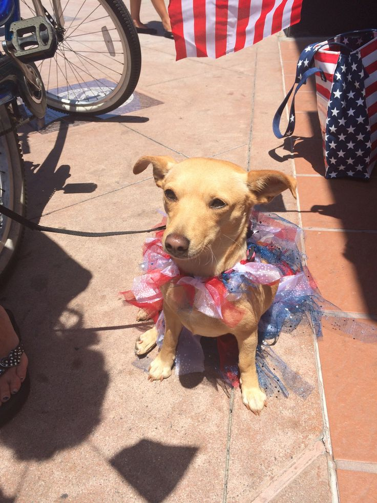 4:th of July dog at Huntington Beach parade