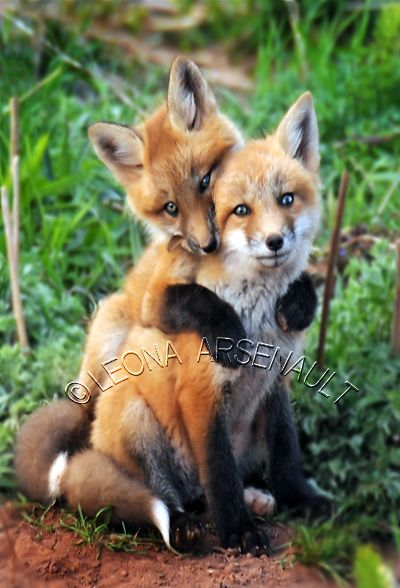 Red Foxes by Prince Edward Island Photographer Leona Arsenault