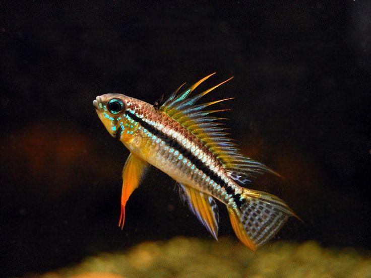 Peixes amazônicos ornamentais (manejo) Nome popular: Apistograma bitaeniata    Nome científico: Apistogramma bitaeniata/Two-striped Apisto