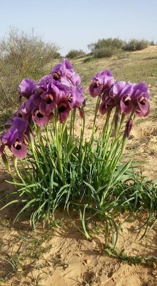 Iris in Israeli Nature - Negev