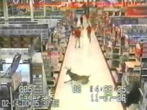 A deer finds itself in a store