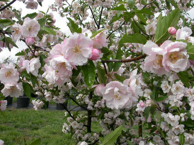 178 best images about plants on pinterest gardens trees for Small ornamental trees