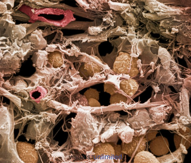 Loose areolar connective tissue from the mammal respiratory system with a blood vessel (upper left) and extracellular fibers. SEM X1960. **On page credit required**