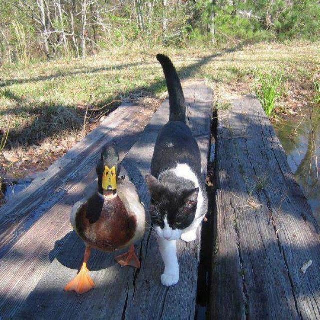 Ungewöhnliche Tierfreundschaften ......Katze und Ente