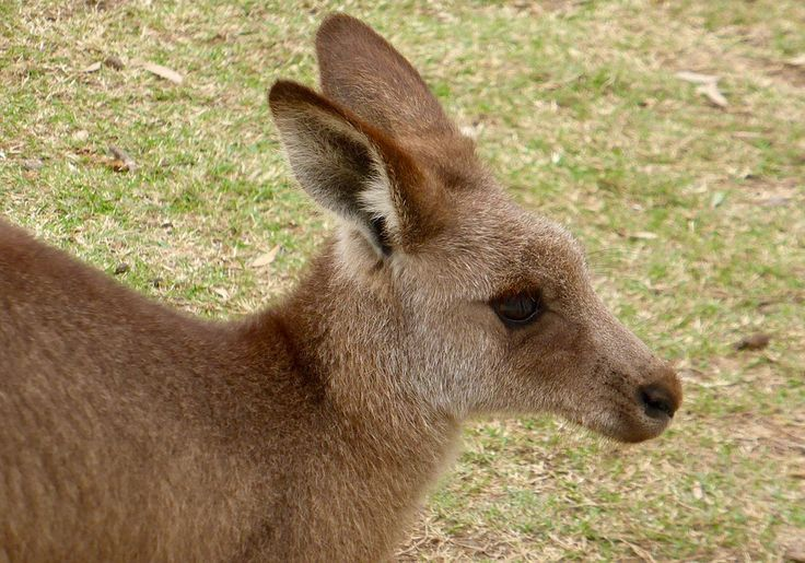 """Four so-called """"men"""" in Australia ran over a kangaroo with their vehicle. Then these weak little COWARDS tortured him in a variety of ways before stomping his head OFF!!  They videoed the entire incident and posted it to SnapChat. The police haven't found them yet, tho, I don't know how hard they're trying. RIP, poor kangaroo. You're more loved than these POS will ever be."""