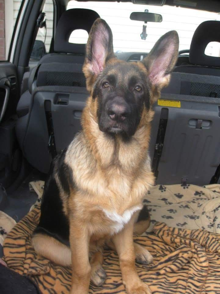 German Shepherd Dog S Our Puppy Titan Glad He Grew Into His Ears