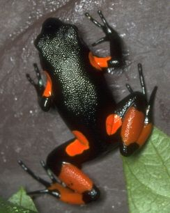 Mantella cowanii, or just call it a halloween frog.