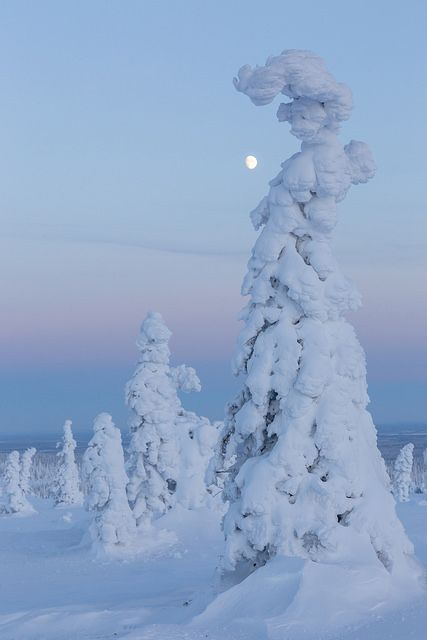 Tykky & Moon   Flickr - Fotosharing! One of the oddly shaped tykky-trees in Riisitunturi National Park in Finnish Lapland, against a twilight sky and a rising moon just after sunset.