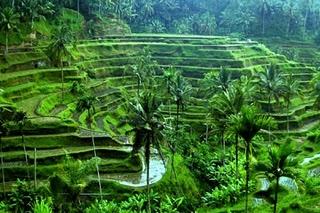 Visit the Rice terraces in Ubud