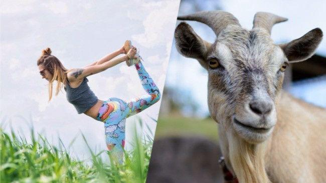 #GoatYoga Is Proof That We've Finally Reached Peak #Corvallis #Oregon    #goatSaturday #goat #goats #yoga #yogini #yogi #oxytocin #pet #pets #farm #farmYoga q
