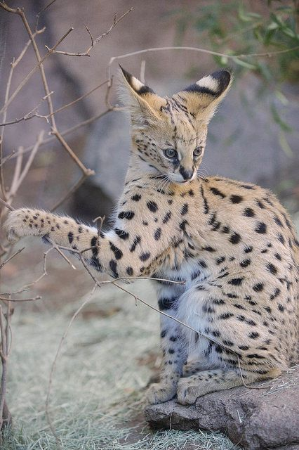 Baby Serval. by LisaDiazPhotos on Flickr.