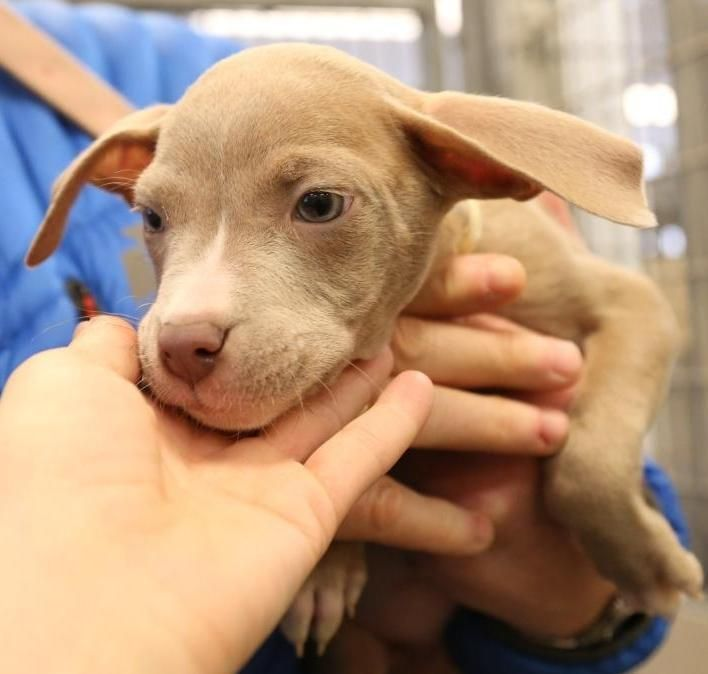 Meet Lucky, a Petfinder adoptable American Bulldog Dog | Rochester, NY | Lucky is a little female and 8 wks old who was turned into the Rochester Animal Shelter with 3...