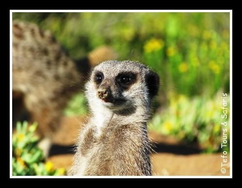Meerkat Spotted on Tefo Tours & Safaris Garden Route Tour close to Oudtshoorn