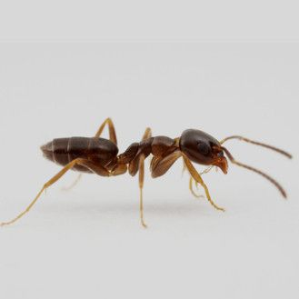 odorous house ant in a terre haute home