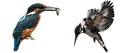 Different types of kingfisher