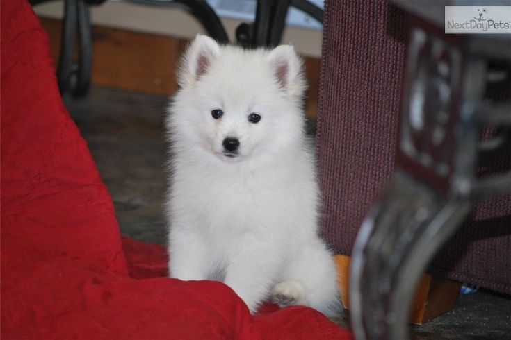 American Eskimo Dog puppy for sale near Provo / Orem, Utah | 189ab165-5d91