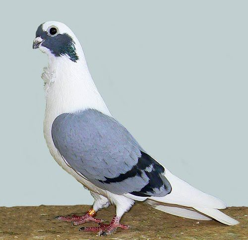 Syrian Turbiteen Pigeon (Barbarisi Owl Pigeon) Pictures ~ ENCYCLOPEDIA OF PIGEON BREEDS