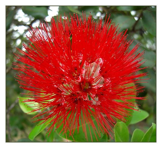 Red: Islands Flowers, Volcanoes Goddesses, Ohia Rejects, Beautiful Flowers, Islands Growing, Ohia Trees, Ohia Lehua, Goddesses Peles, Big Islands