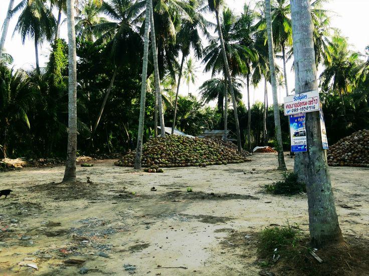 Coconuts Thailand