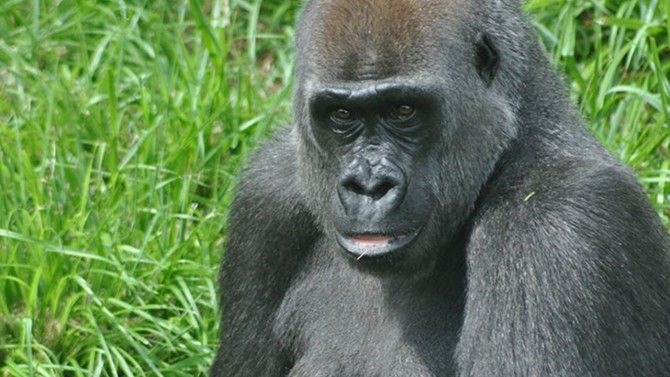 Mia Moja, a 27-year-old gorilla living at Louisville Zoo, died hours after she was rushed into an emergency c-section. Her baby is stable.