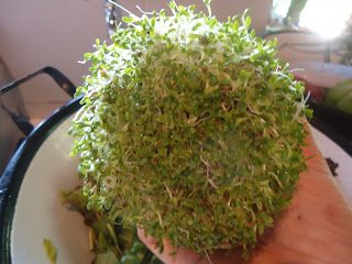 Como Cultivar Brotos de Alfafa | CulináriaViva.com