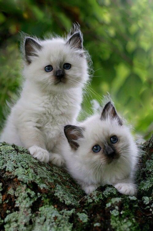 cute fluffy siamese kittens - photo #15