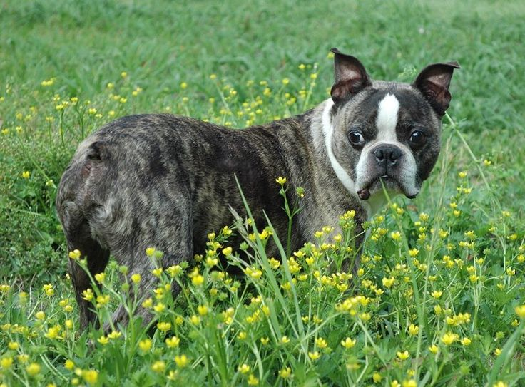 Adopt Hollister In Heaven On Boston Terrier Rescue