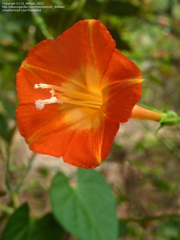 Good Morning Orange Flowers : Best images about flower morning glory on pinterest