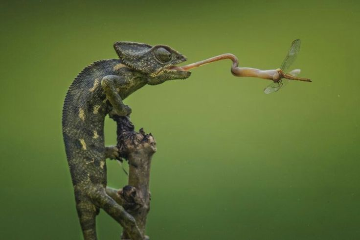 NOVEMBER 20, 2017DINNER IS SERVED  In Salalah, Oman, a chameleon launches its sticky tongue to catch a dragonfly. To catch the impossibly fast action, Your Shot photograph Abrar Sekhi used a shutter speed of 1/4000 of a second-- and sat and waited for the perfect moment for five hours.  PHOTOGRAPH BY ABRAR.SEKHI@HOTMAIL.COM