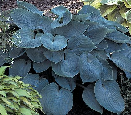 Hosta Hadspen Blue: Neat clumps of heart-shaped, grayish blue leaves about 5in long; pale mauve blooms appear on 14in stems in late summer.
