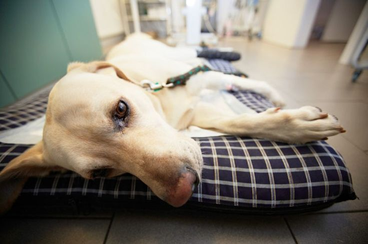 Treatment for cruciate ligament injury in dogs.
