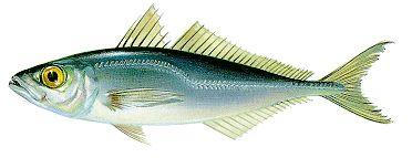 Peixe Carapau