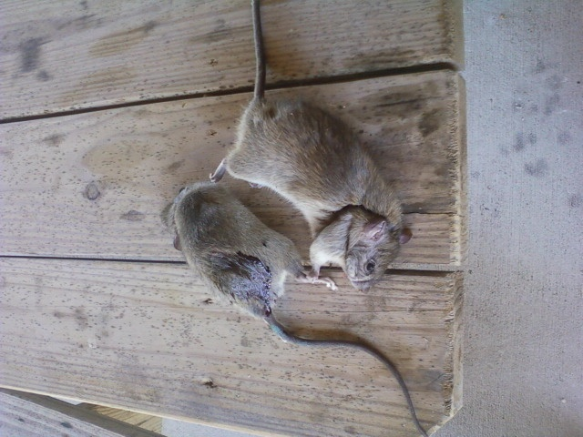 Roof Rats Insects Critters And All Pest Things Pinterest