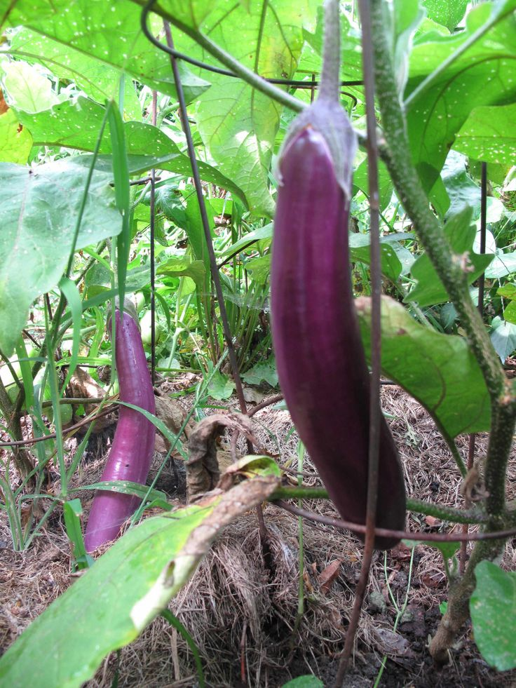 how to choose japanese eggplant