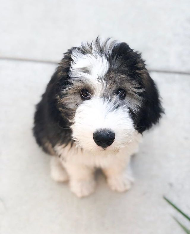 Sweet Sheepadoodle Named Bertie Instragram Credit