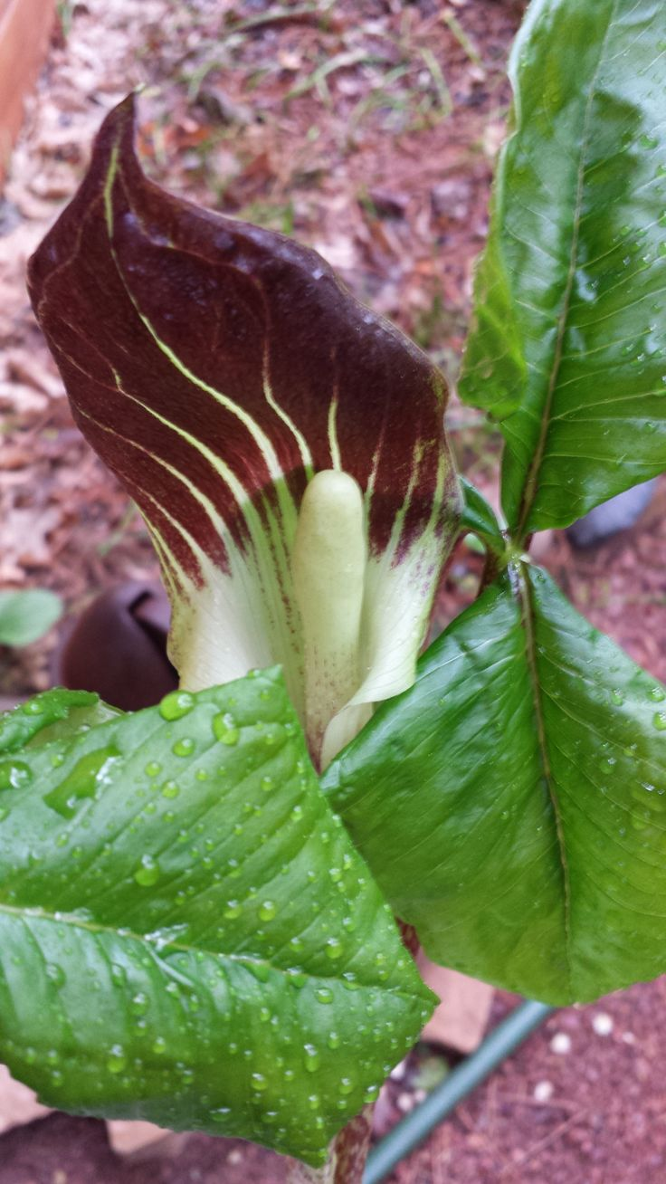 Jack-in-the-Pulpit flower
