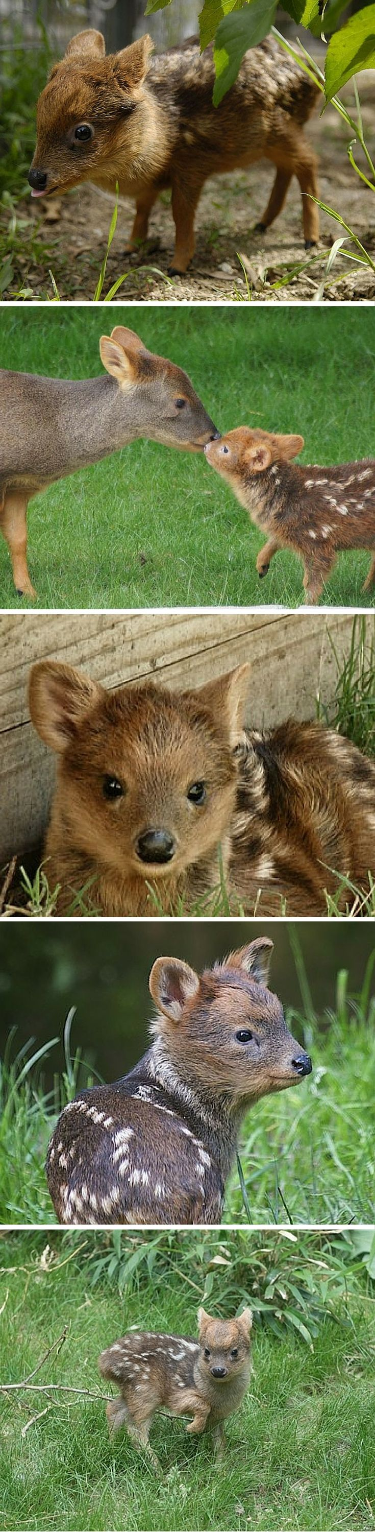 At just 12 to 14 inches high at the shoulder when fully grown, pudus are the world's smallest deer species.  But why stop at five when you can have 10? More pictures of baby pudus at the link. :)