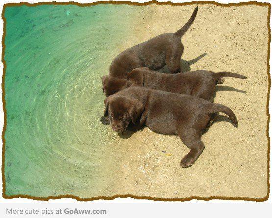 Chocolate labrador puppies at the beach