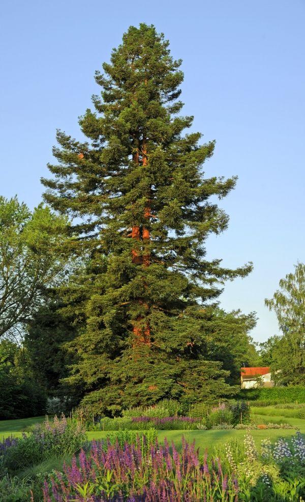 Sequoia sempervirents...Séquoia à feuilles d'if dans la rue Plittersdorf, Bonn, Allemagne -