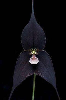 """A orquídea""""Drácula Corvo"""" (Dracula Raven) é uma flor negra com o lábio rosa, cruzamento entre as orquídeas """"Drácula roezlii"""" e """"Drácula Vampira"""". As orquídeas Drácula são originárias das florestas dos Andes na América do Sul"""
