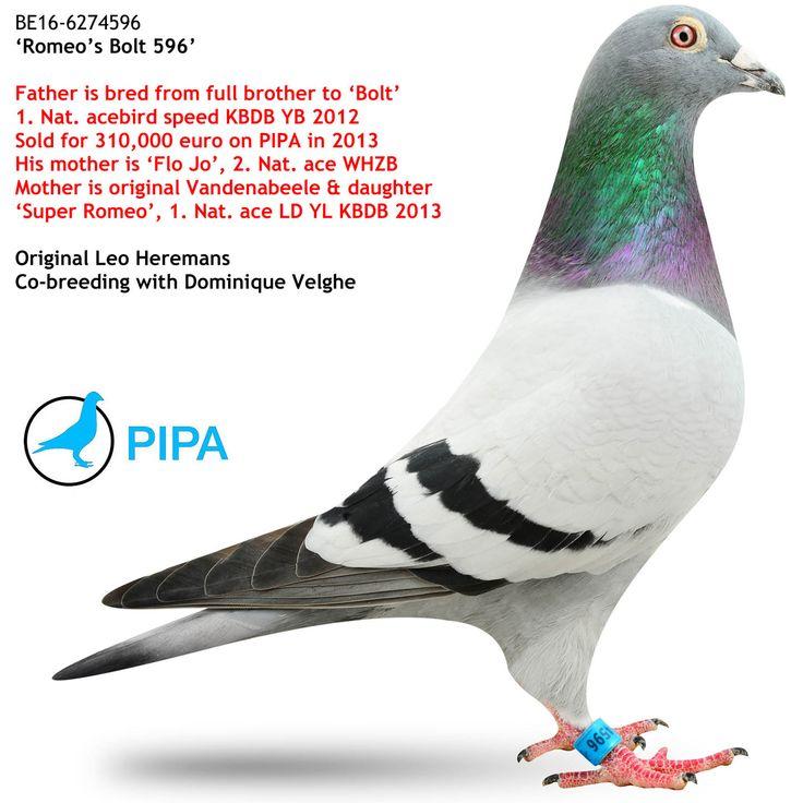 Romeo's Bolt 596 | PIPA