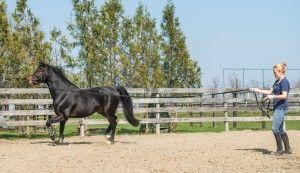 Ældre heste skal motioneres mere skånsomt.