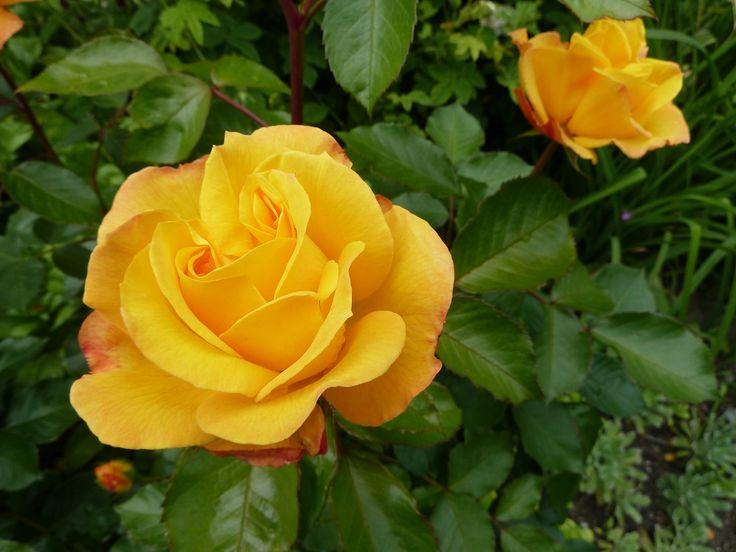 Namnlös ros i trädgården.